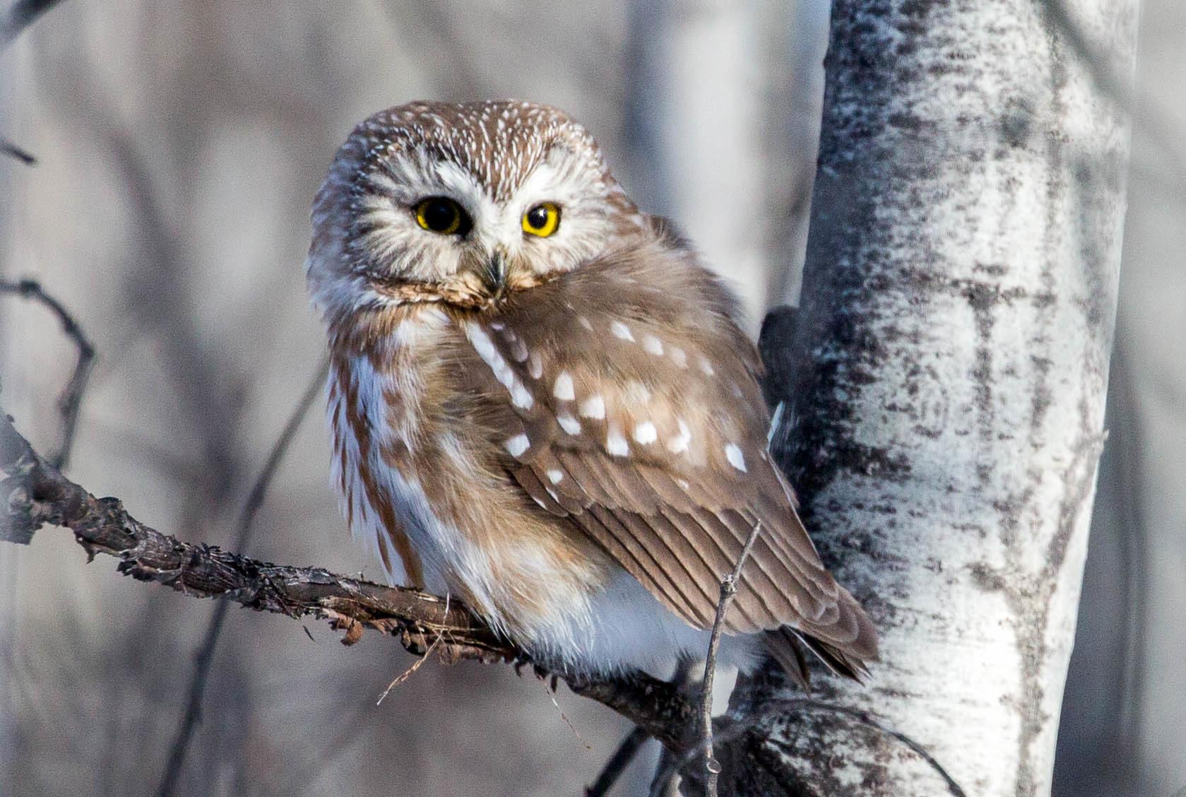 Decoding Our Nine Owl Species Santa Lucia Conservancy